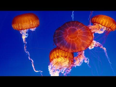 Live Jelly Cam – Monterey Bay Aquarium