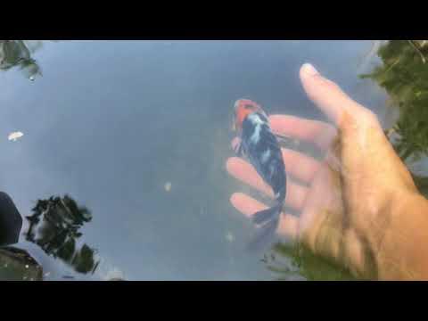 Petting My Koi Fish