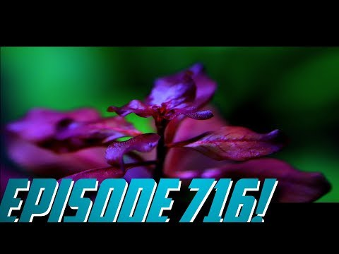 Episode 716! Ludwigia Palustris! Messing with the Shrimp Aquascape!