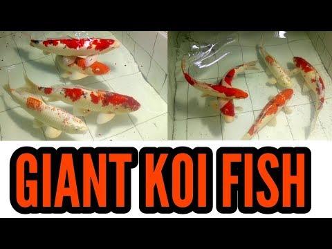 24 inches Big Size Giant Koi Fish at A Mart Aquatic World