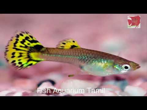Guppy Fish Information in Tamil / Fish Aquarium Tamil