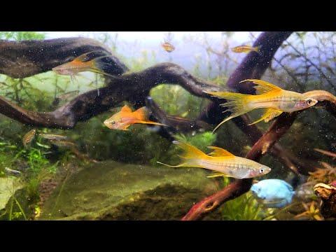 The Final Fish Arrived! -My 40 Gallon Hillstream Aquascape – Panda Garra Log Sucker & 5 Sword Tails