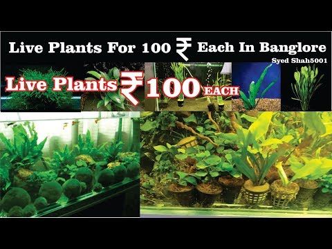 Live Plants for 100 Rupees # live Aquarium plants for sale in banglore