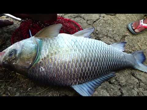 Giant Catla Fishing Videos By Dollar In The Pond Of Dalas