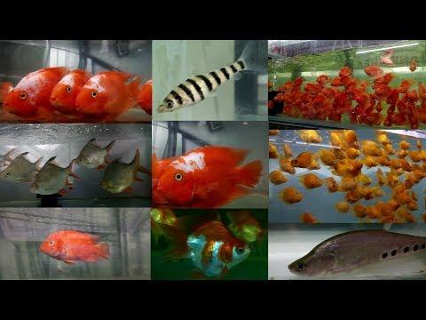 Aquarium Fish at AMart Aquatic World Fish Store