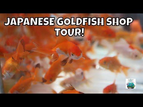 JAPANESE FISH STORE TOUR KOI AND GOLDFISH  LOTS OF THEM!
