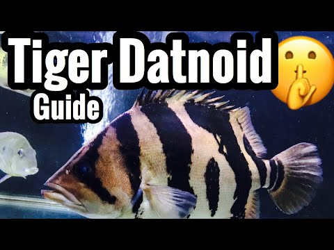 Tiger Datnoid Tank Care – Fish Aquarium Monster?
