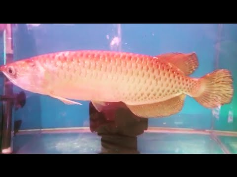 Big Size Golden Pearl Arowana at Pari Aquarium |  New Fish Stock Jan 12, 2019