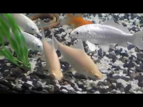 Aquarium Fish-Angel Fish, Koi Fish, Gold Fish