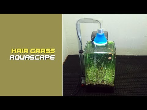 Mini Aquacape Hairgrass | Aquascape Decoration