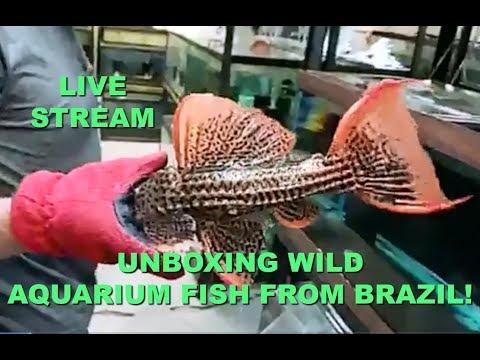UNBOXING WILD AQUARIUM FISH FROM BRAZIL – Live Stream
