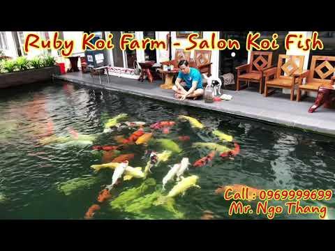 Ruby Koi Farm – Salon Koi Fish.