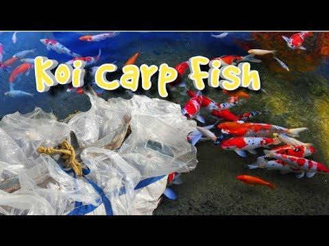 Koi Carp Fish | Gold Fish | Color fish pond