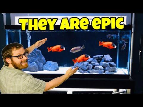 Rare Red African Cichlids New Fish Room Aquarium