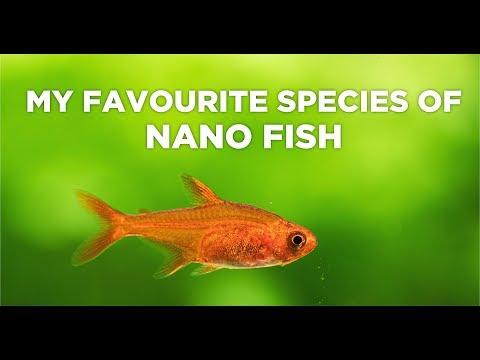 My 4 favourite species of nano fish – Good choice for nano aquariums