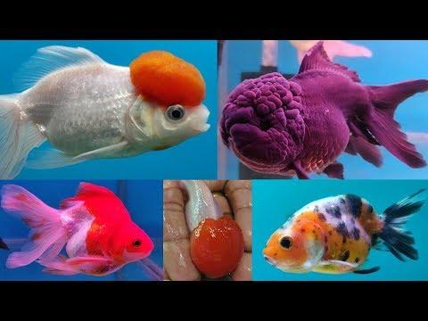 Gold Fish Types at Lovely Aquarium Fish Shop