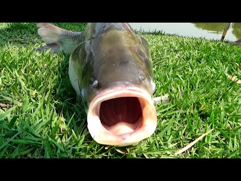 Best Catla Fishing Videos By Prince Using Rod In Village Pond