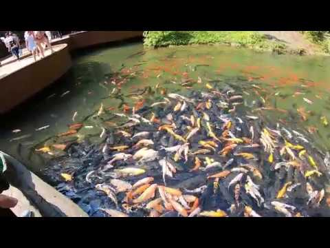 Thousands of Koi Fish and Goldfish Fighting for Food – in China
