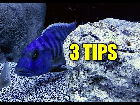 3 TIPS TO GET YOUR AFRICAN CICHLIDS (AQUARIUM FISH) TO EAT