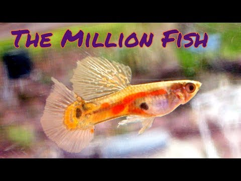 Why are guppies so popular? [2 Hour Live Stream]
