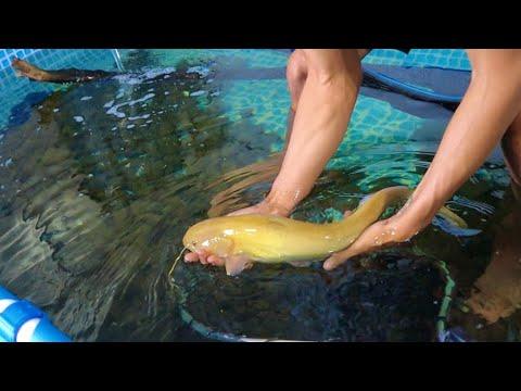 MONSTER FISH TRANSFER! He Ate All My KOI Fish!
