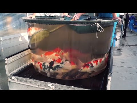 WORLDS COOLEST FISH BOWL FULL WITH COLORFUL KOI | RARE