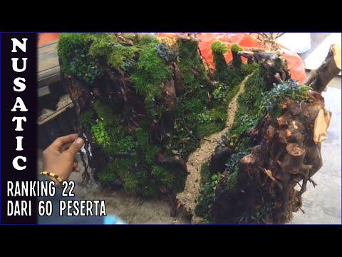Setting 60cm Tank untuk Kontes Aquascape Nusatic 2019