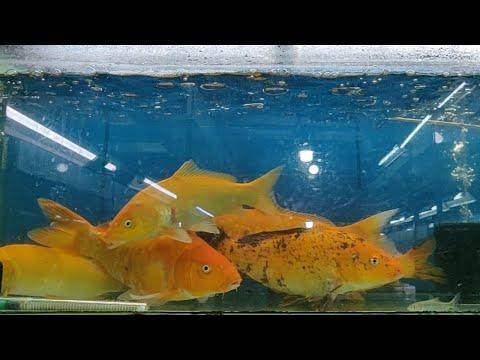Giant Koi Fish at Tausifs Aquarium Fish Shop