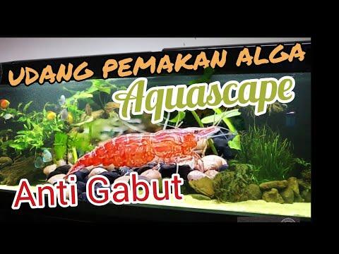 Udang Mini Pekerja Keras di Aquascape #aquascape #cherryshrimp