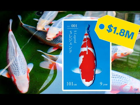 Investing in Koi Fish, is it worth it?