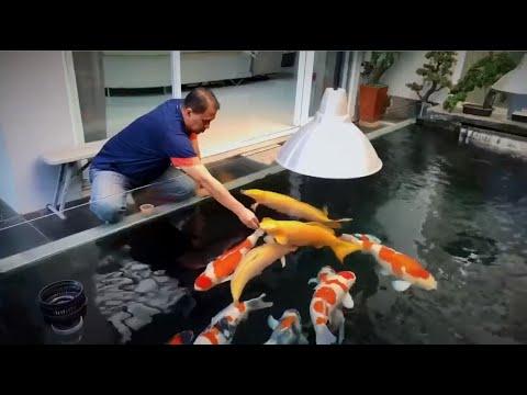Koi Pond Feeding | Top 12 Types and Characteristics of Koi Fishes