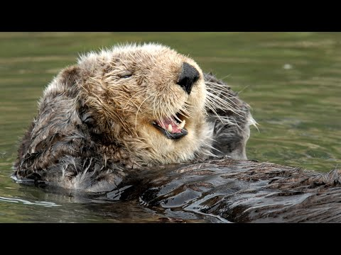 We could watch the Sea Otter Cam furever! | Monterey Bay Aquarium Live Sea Otter Cam