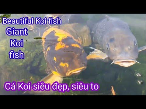 The Most Beautiful, Huge Koi fish | Cá Koi Siêu đẹp, Siêu to Khổng Lồ ở công viên cá koi RinRin park