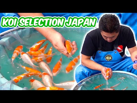 How Baby KOI FISH Are SELECTED – Koi Selection In Japan [BREEDER KOI SELECTION GUIDE]