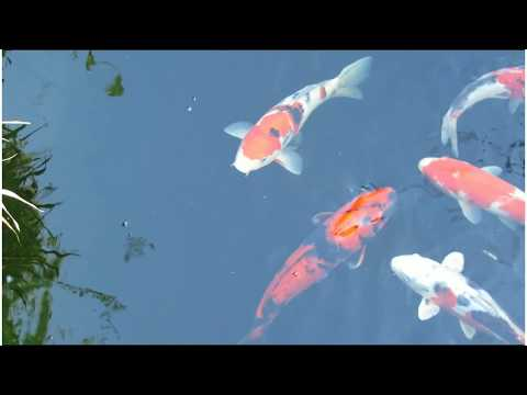 Don't buy a koi fish before watching this video