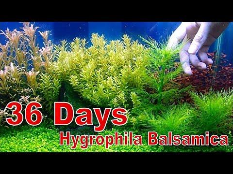 HYGROPHILA BALSAMICA Beautiful Aquascape Plants