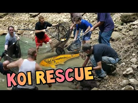 "MASSIVE KOI POND FISH RESCUE! ALMOST SHAQ SIZED 30"" KOI"