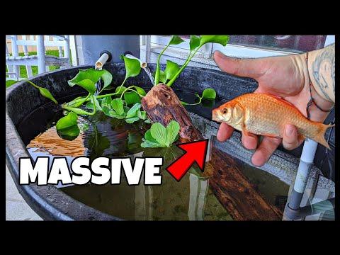 Cheap DIY Pond Gets BIG Goldfish!