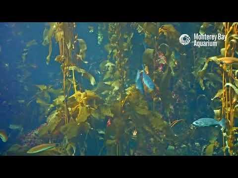 Welp! Here's some Kelp (Forest Cam)! | Monterey Bay Aquarium Live Kelp Forest Cam