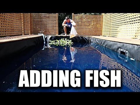 ADDING FISH TO THE POND AND SWIMMING WITH THEM!!!