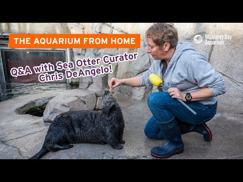 Live Q&A with Sea Otter Curator Chris DeAngelo | The Aquarium From Home