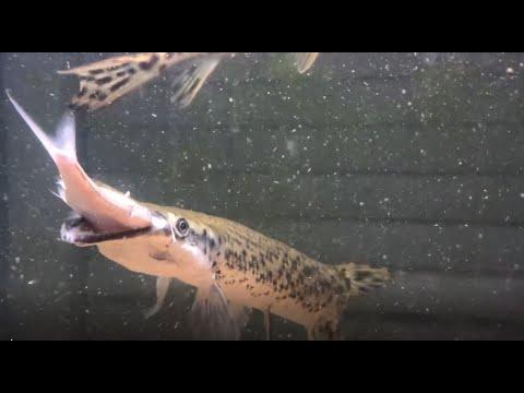 This Aquarium Fish Can eat Baitfish a Third Of Its Size