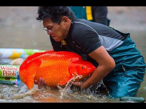 Beautiful Benigoi Koi Fish and Top Exclusive Koi Farm In Japan