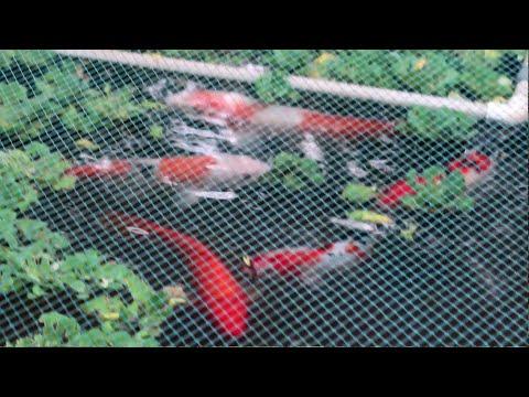 അഴകുള്ള മത്സ്യം | ഈ മീനിന് ഇത്ര വിലയോ ? Indian Koi fish vs Japan Koi fish