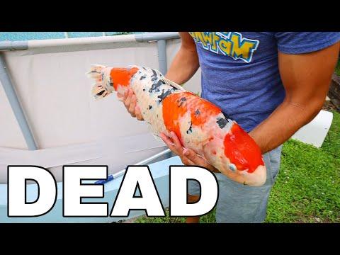 $20,000 Pet KOI Found DEAD In My Aquarium! (R.I.P to an amazing Fish)