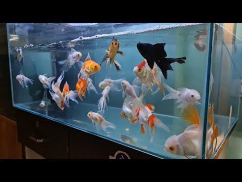 Gold Fish, Koi Fish, Betta Fish at Oh Fish Aquarium
