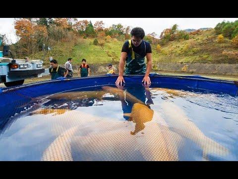 All Super Jumbo Karashigoi 120cm | Harvest Time in Konishi Koi Fish Farm