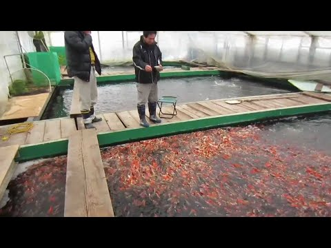 The Mountains Where Koi Fish Come From…