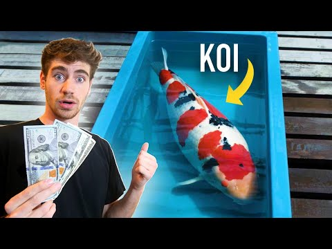 $100,000 Japanese Koi Fish!! – How to BUY & Invest! 💰