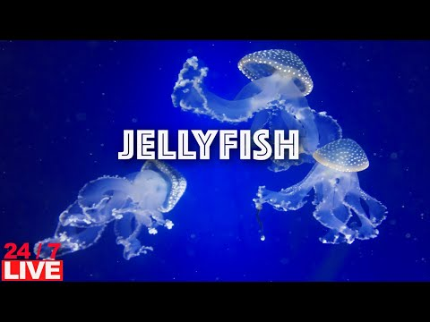 LIVE JELLYFISH AQUARIUM with water sound